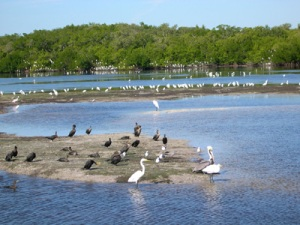 Ding Darling Wildlife Refuge birds