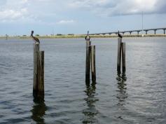 Pelicans on Apalachicola Bay